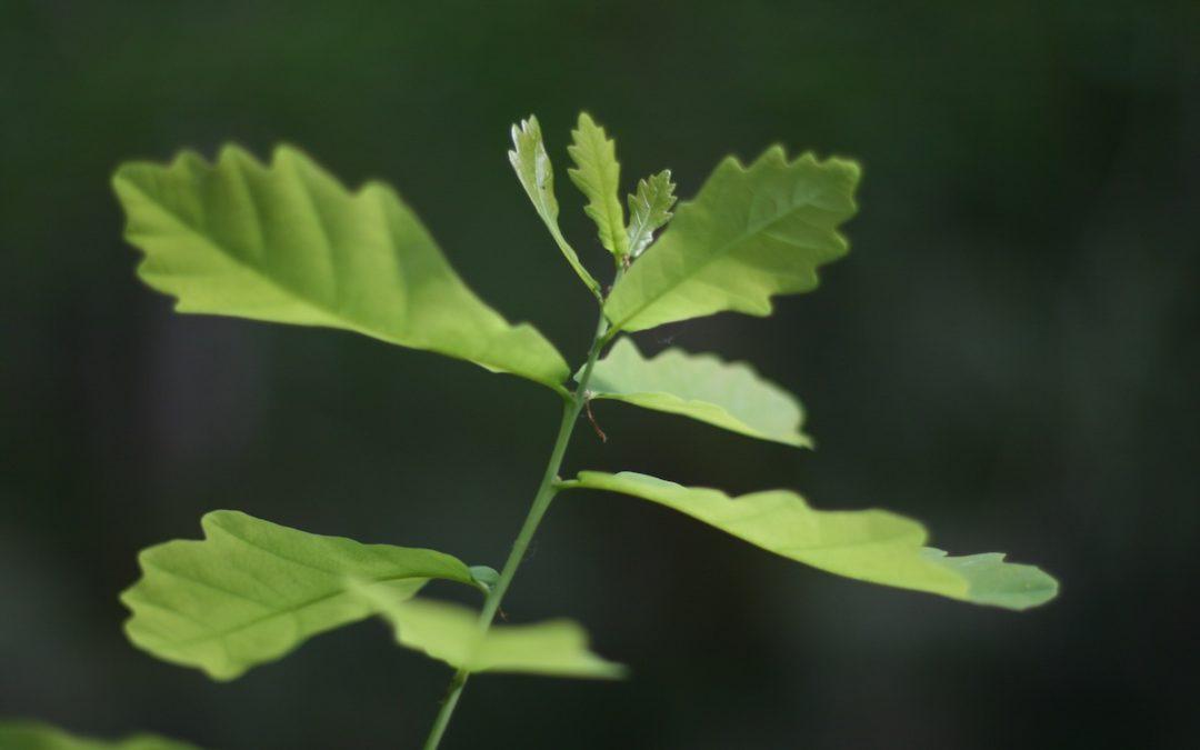 Connaitre les parasites qui pourraient décimer nos forêts en plantant des arbres français en Chine